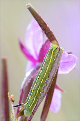 Labkrautschwärmer (Hyles gallii)