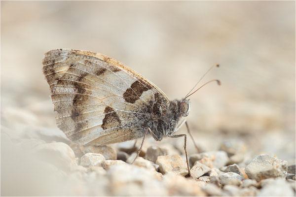 Berghexe (Chazara briseis), Männchen, Frankreich, Dep. Drôme