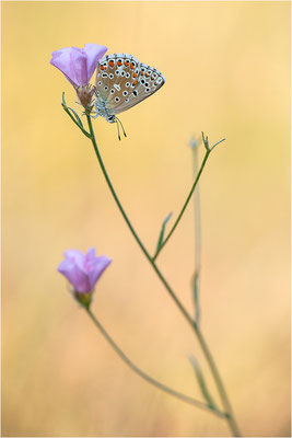 Himmelblauer Bläuling (Polyommatus bellargus f. cerones), Weibchen, Frankreich, Ardèche