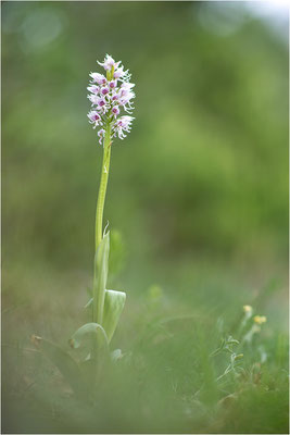 Orchis simia, Hypochrome