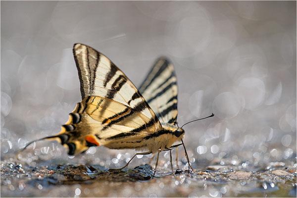 Segelfalter (Iphiclides podalirius), Frankreich, Haute-Loire
