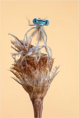 Blaue Federlibelle (Platycnemis pennipes), Männchen, Deutschland, Baden-Württemberg, Rheinaue