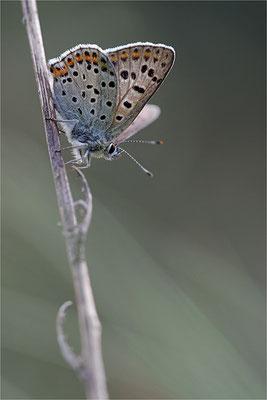 Brauner Feuerfalter (Lycaena tityrus), Männchen, Deutschland, Brandenburg