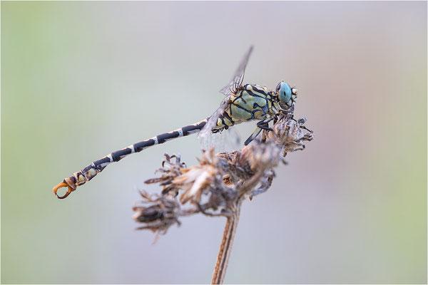 Kleine Zangenlibelle (Onychogomphus forcipatus unguiculatus), Männchen, Frankreich, Drôme