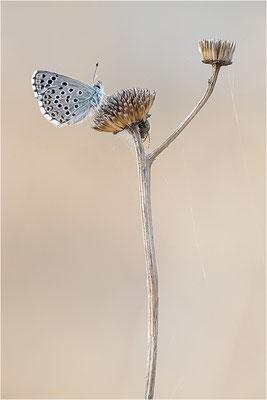 Blaugrauer Bläuling (Pseudophilotes batis), Frankreich, Aude