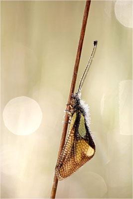 Libellen-Schmetterlingshaft (Libelloides coccajus), Frankreich, Ardèche