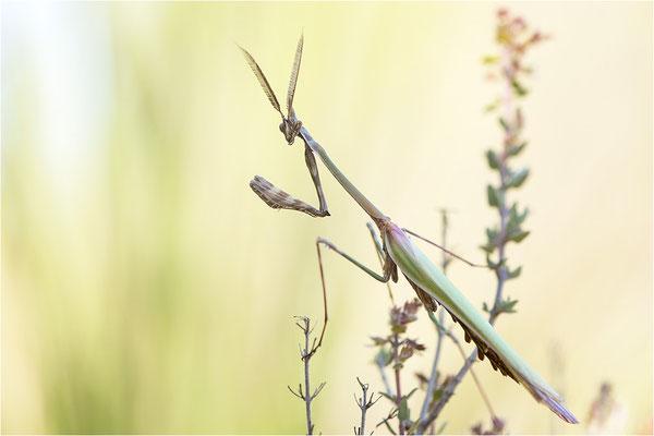 Hauben-Fangschrecke (Empusa pennata), Männchen, Frankreich, Provence