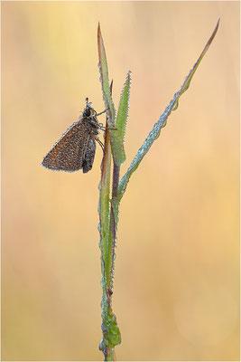 Schwarzkolbiger Braun-Dickkopffalter (Thymelicus lineola), Schweden, Värmland
