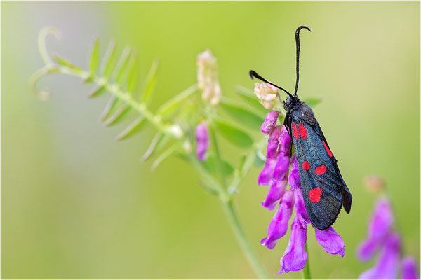 Großes Fünffleck-Widderchen (Zygaena lonicerae), Italien, Piemont