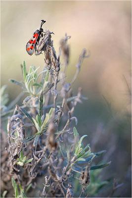 Zygaena rhadamanthus, Frankreich, Ardèche