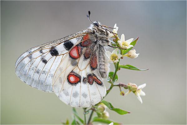 Roter Apollo (Parnassius apollo linnei f. dilata), Schweden, Gotland