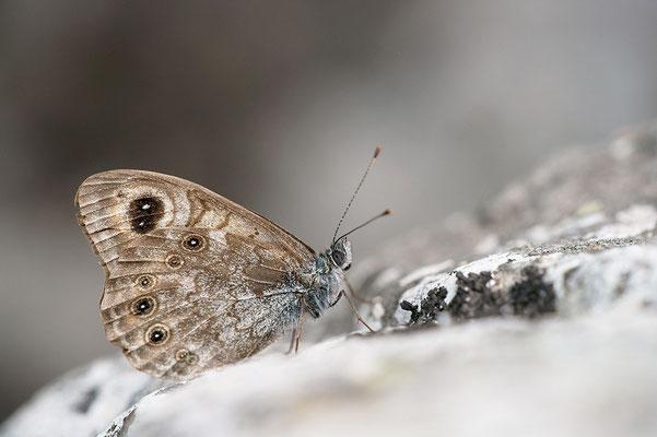 Braunscheckauge (Lasiommata petropolitana), Frankreich, Haute-Loire