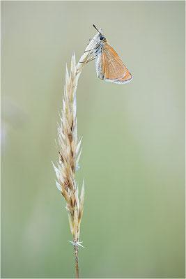 Braunkolbiger Braun-Dickkopffalter (Thymelicus sylvestris), Deutschland, Baden-Württemberg