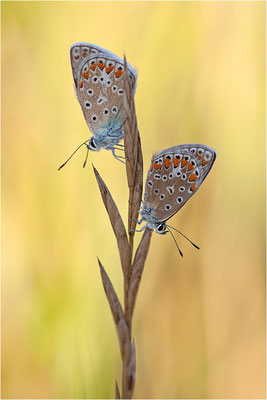 Gemeiner Bläuling (Polyommatus icarus), Weibchen, Frankreich, Drôme