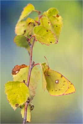 Postillon (Colias croceus), Frankreich, Savoye