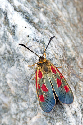 Alpen-Widderchen (Zygaena exulans), Weibchen, Italien, Region Aostatal, 2000m