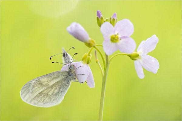 Tintenfleck-Weißling (Leptidea sinapis bzw. juvernica), Paar, Deutschland, Baden-Württemberg