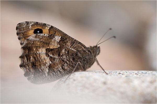 Rostbinde (Hipparchia semele), Männchen, Frankreich, Ardèche
