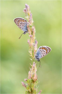Argus-Bläuling (Plebeius argus), Männchen, Schweiz, Wallis
