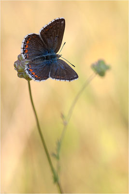 Himmelblauer Bläuling (Polyommatus bellargus), Weibchen, Frankreich, Ardèche