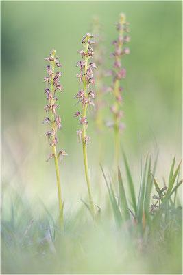 Ohnsporn (Orchis anthropophora), Frankreich, Alsace