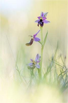 Drôme-Ragwurz (Ophrys drumana), Frankreich, Dep. Drôme
