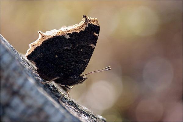 Trauermantel (Nymphalis antiopa), Schweden, Dalsland