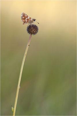 Roter Würfel-Dickkopffalter (Spialia sertorius), Frankreich, Ardèche