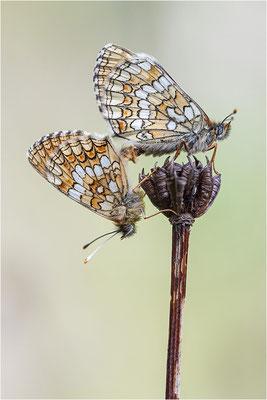 Melitaea athalia (Wachtelweizen-Scheckenfalter)