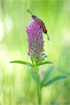 Beilfleck-Widderchen (Zygaena loti), Paarung, Schweiz, Wallis