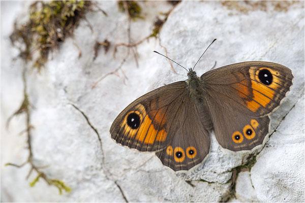 Braunauge (Lasiommata maera), Schweiz, Kt. Freiburg