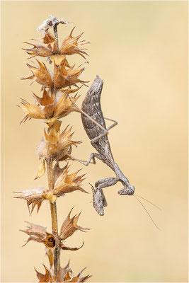 Graue Fangschrecke (Ameles decolor), Weibchen, Frankreich, Ardéche