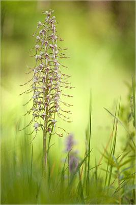 Bocks-Riemenzunge (Himantoglossum hircinum), Deutschland, Baden-Württemberg