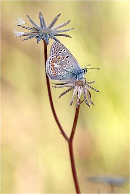 Kleiner Esparsetten-Bläuling (Polyommatus thersites), Männchen, Frankreich, Ardèche