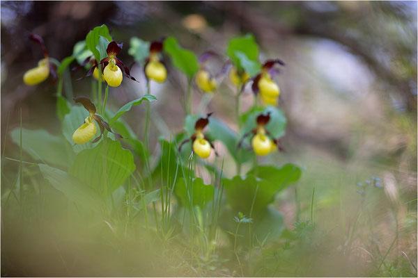 Gelber Frauenschuh (Cypripedium calceolus), Schweden, Gotland