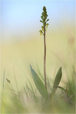 Großes Zweiblatt (Listera ovata), Baden-Württemberg, Deutschland