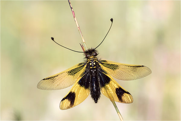 Langfühleriger Schmetterlingshaft (Libelloides longicornis), Weibchen, Italien, Region Aostatal