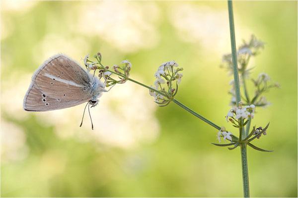 Weißdolch-Bläuling (Polyommatus damon), Schweiz, Wallis