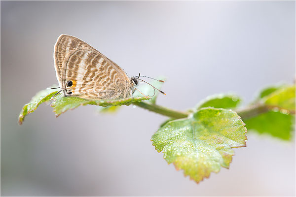 Großer Wanderbläuling (Lampides boeticus), Frankreich, Dep. Drôme