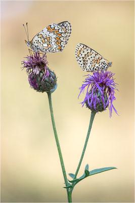 rechts: Melitaea didyma