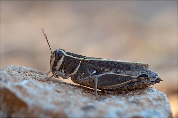 Costas Schönschrecke (Calliptamus barbarus), Weibchen, Frankreich, Drôme
