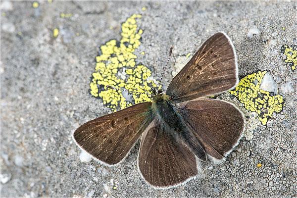 Brauner Feuerfalter (Lycaena tityrus subalpina), Männchen, Frankreich, Savoie, 2500m