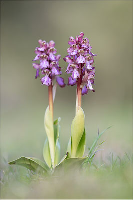 Riesen-Knabenkraut (Himantoglossum robertianum), Provence, Frankreich