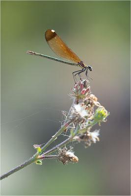 Bronzene Prachtlibelle (Calopteryx haemorrhoidalis), Weibchen, Dep. Drôme, Frankreich