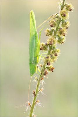 Große Schiefkopfschrecke (Ruspolia nitidula), Deutschland, Baden-Württemberg