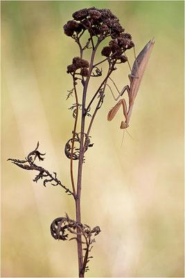 Europäische Gottesanbeterin (Mantis religiosa), Weibchen, Deutschland, Baden-Württemberg