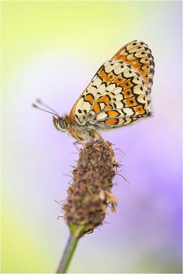 Wegerich-Scheckenfalter (Melitaea cinxia), Deutschland, Baden-Württemberg, Kaiserstuhl
