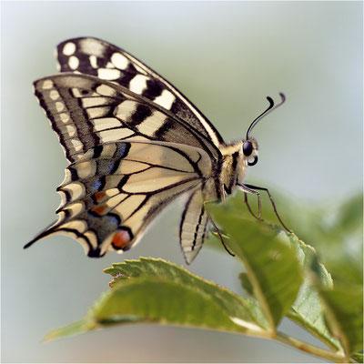 Schwalbenschwanz (Papilio machaon), Frankreich, Haute-Loire
