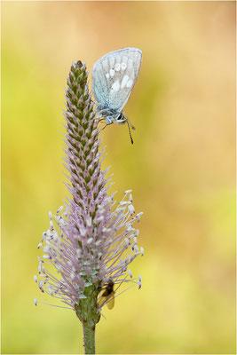 Heller Alpen-Bläuling (Plebeius orbitulus), Männchen, Schweiz, Wallis