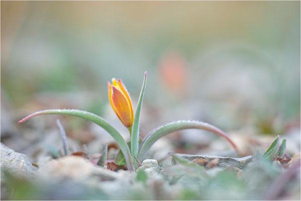 Südalpen-Tulpe (Tulipa sylvestris australis), Aude, Frankreich